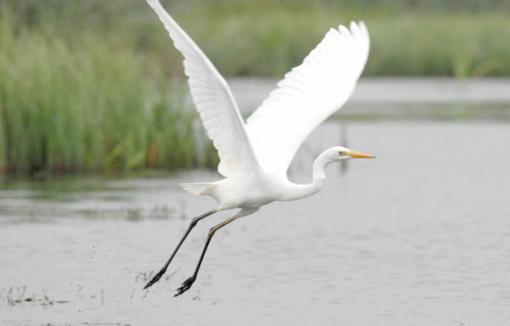 Aukštaitijos nacionaliniame parke – baltųjų gandrų staigmena
