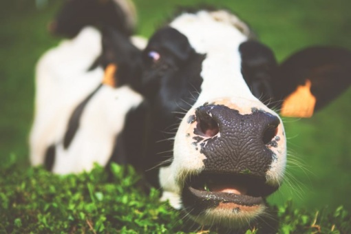 Žaliųjų kokteilių nauda... karvėms!?