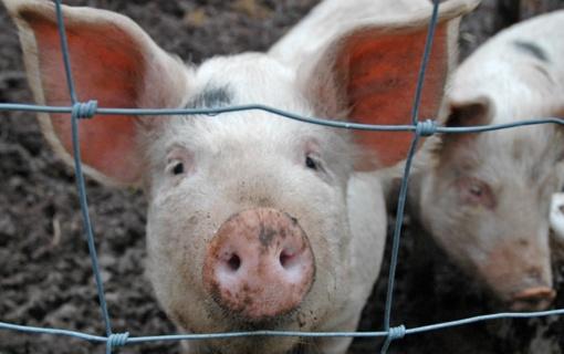 Užfiksuotas jau penktas afrikinio kiaulių maro protrūkis
