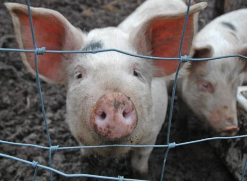 """""""Beržų komplekse"""" dėl kiaulių maro bus sunaikinta 23 tūkst. kiaulių"""