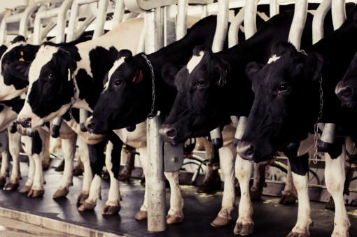 Nors pieno ūkiuose mažėja, bet produktų gamyba didėja
