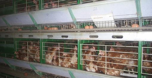 Lietuvos paukštynai tikrinami dėl Nyderlandų fipronilo krizės