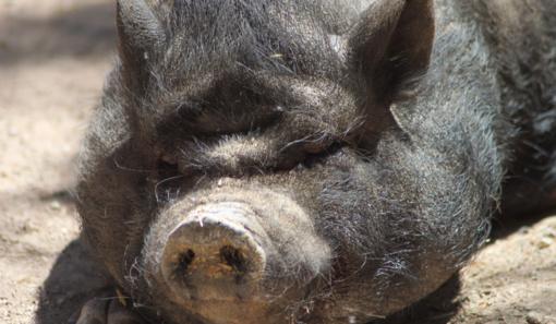 Afrikinio kiaulių maro atvejų laukinėje faunoje nemažėja