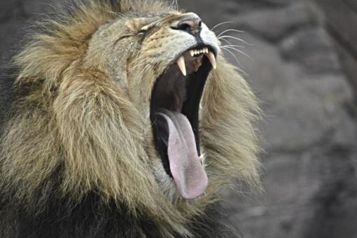 Muitininkai rado liūtukę, laikytą garaže