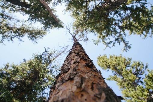 Mažeikių rajone virsdamas medis prispaudė žmogų
