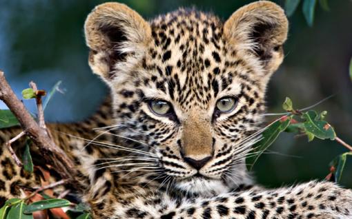 Indijoje po automobilių gamyklą laksto ... leopardas
