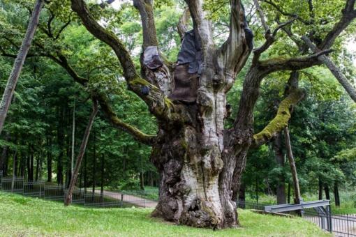 Renkamas Metų medis, kuris atstovaus Europos Metų medžio konkurse