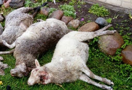 Vilkai pjauna avis