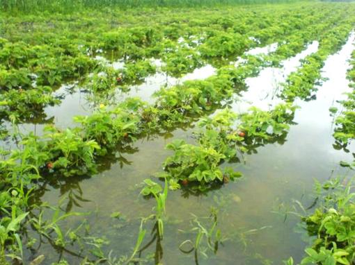 Kai kurie rajono ūkininkai nukentėjo nuo liūčių, bet paramos kol kas neprašo