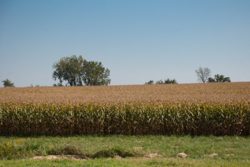 Kukurūzų laukuose Panevėžio rajone – prie stiebų pririšti metalo gabalai technikai gadinti