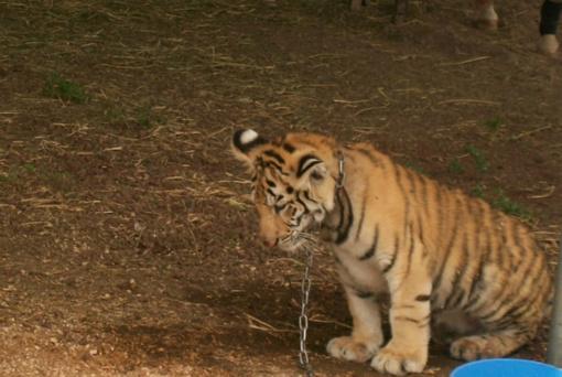 ES cirkuose siūlo uždrausti gyvūnus