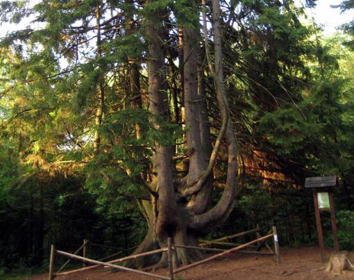 Raganų eglė– Lietuvos metų medis