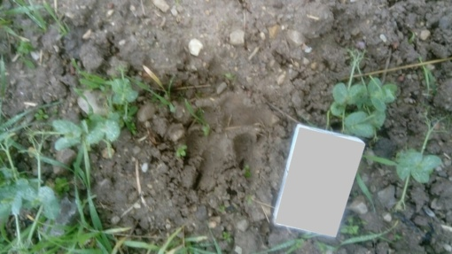 Vilkai sudraskė elnio patelę