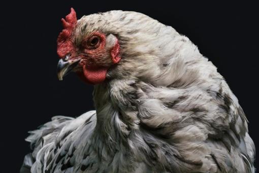 Įtarimai dėl paukščių gripo nepasitvirtino