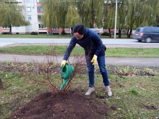 Pasodinti medeliai džiugina Šiaulių rajono gyventojus (FOTO)
