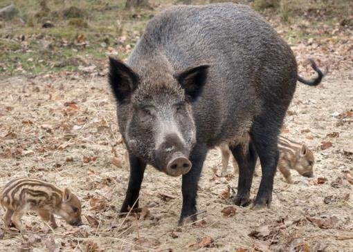 VMVT: nuo metų pradžios afrikinis kiaulių maras laukinėje faunoje patvirtintas 26 vietose 41 šernui