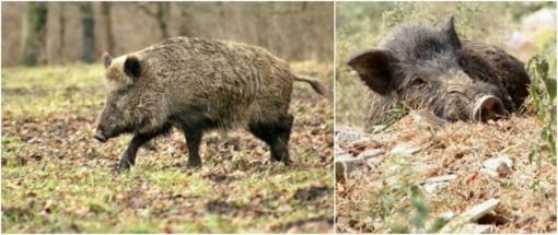 Daugėja kiaulių maru užsikrėtusių šernų