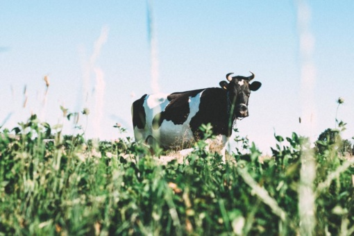Pieno supirkimo kainos dar padidėjo, prognozuojamas jų mažėjimas