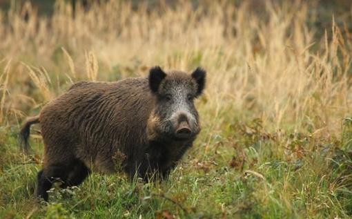 Afrikinis kiaulių maras tebeplinta