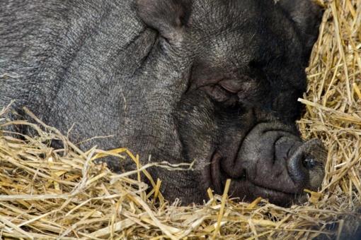 Afrikinis kiaulių maras dar nesitraukia