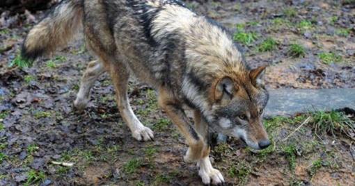 Šiaulių regione baigėsi vilkų medžioklė