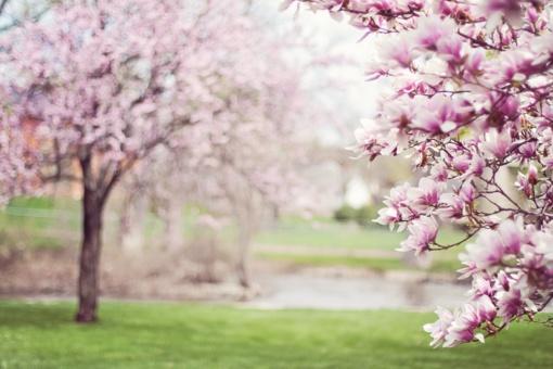 JAV pirmoji ponia leido nukirsti prie Baltųjų rūmų augančią beveik 200 metų magnoliją