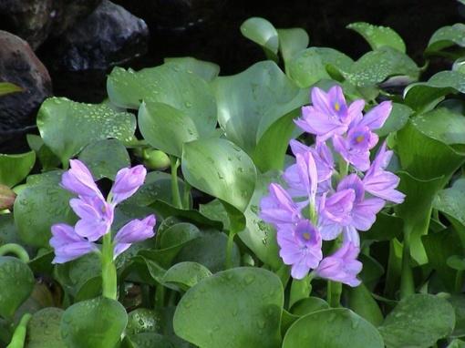 Gėlė iš Amazonijos – grėsmė Europos vandens telkiniams