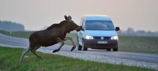 Vilniuje briedis bandė peršokti per važiuojančią mašiną