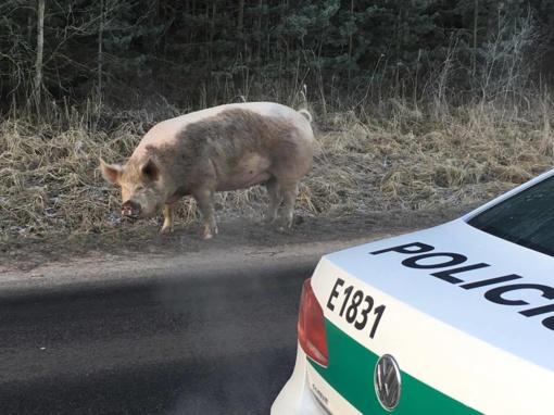 Telšių pareigūnai kelyje sutiko kiaulę (FOTO)