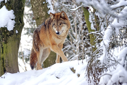 Po daugiau nei šimtmečio Belgijoje pastebėtas vilkas