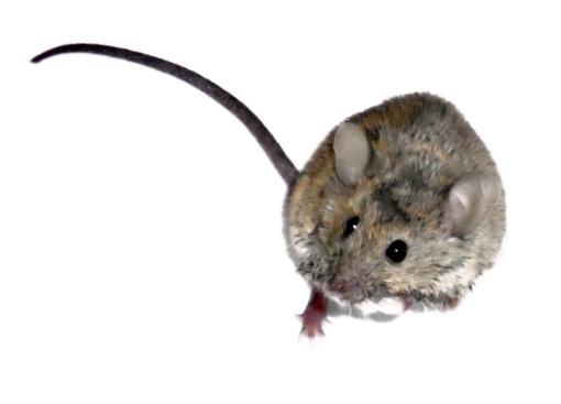 Žiema į namus gena peles: ką daryti?