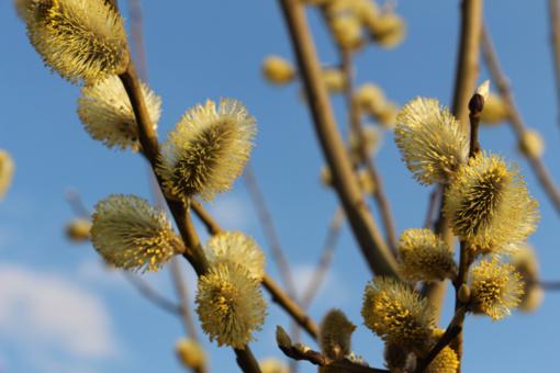 Lietuvoje prasidėjo alergeninių žiedadulkių sezonas