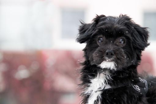 Aukso vertės patarimas šunų augintojams: pavasarį nuskuskite augintiniui lopinėlį kaklo kailio