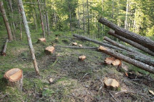 Prienų rajone iš miško pavogtas 71 medis