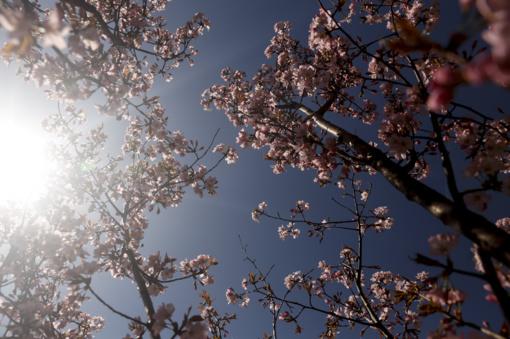 VU Botanikos sodas kviečia į sakurų žiedų ir šviesų instaliacijos šventę