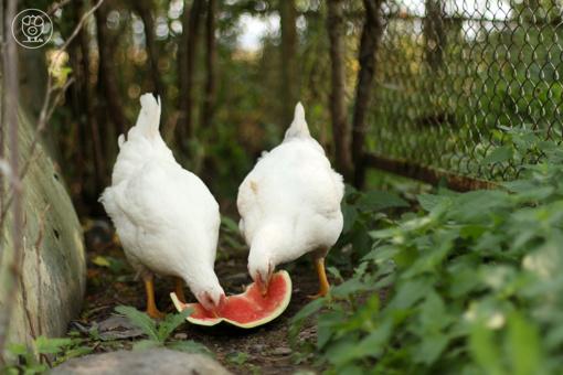 Lietuviai: mėsai auginamų viščiukų sąlygos turi būti geresnės
