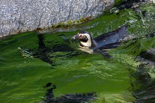 Balandžio 25-oji – Pasaulinė pingvinų diena
