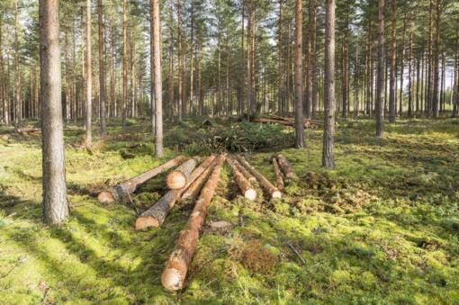 Valstybinių miškų urėdija skelbia rugsėjo prekybos mediena rezultatus