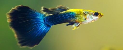 Žuvys, kurios agresiją rodo kitokia akių spalva