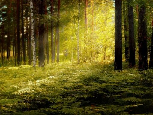 Kęstutis Navickas: skleidžiamos žinios apie kertamus miškus klaidina visuomenę