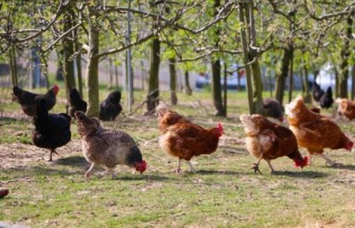 Europoje registruojami nauji paukščių gripo protrūkiai