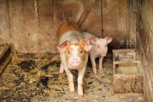 Afrikinio kiaulių maro tyrimams suburta tarptautinė ekspertų komanda