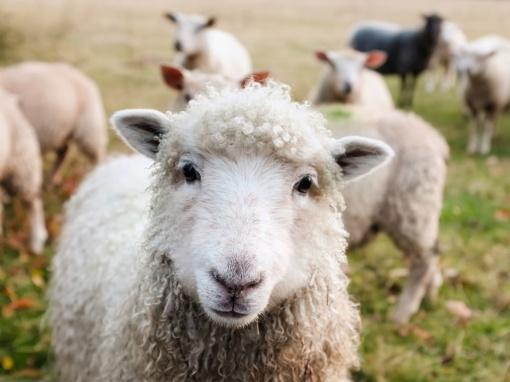 Prienų rajone iš aptvaro pavogtos trys avys