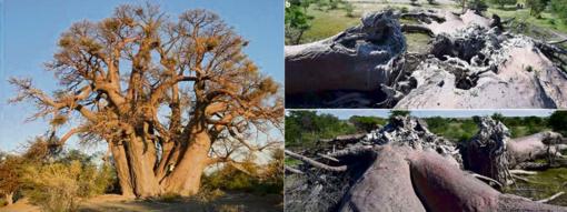 Nerimas: kas nutiko didžiausiems Afrikos medžiams?