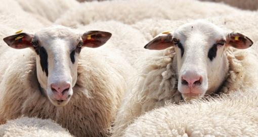 Plungės rajone audra sugriovė fermą su avimis