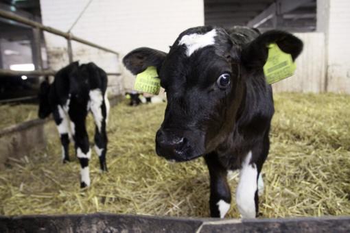 Pieno ūkių mažės, pieno gamyba augs