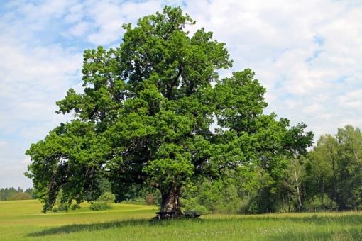 Šimtmečio ąžuolai – kelionė aplink Lietuvą