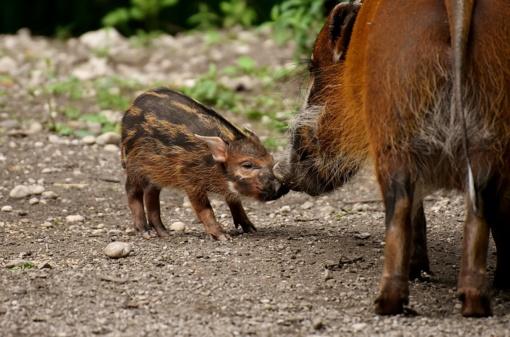 Per savaitę – 5 nauji afrikinio kiaulių maro protrūkiai