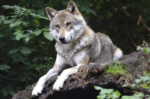 Informacija apie vilkų ūkiniams gyvūnams padarytos žalos atlyginimą
