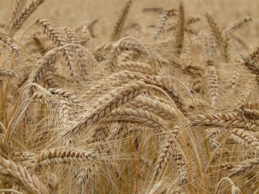 Pašarinių miežių supirkimo kaina per mėnesį išaugo, kviečių ir kvietrugių - sumažėjo